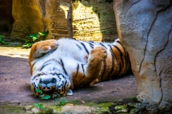 Resting tiger - Leipziger Zoo