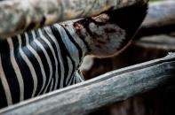 Zebra - Leipziger Zoo