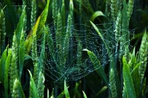 Cobweb in a cornfield