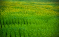 Fields of green