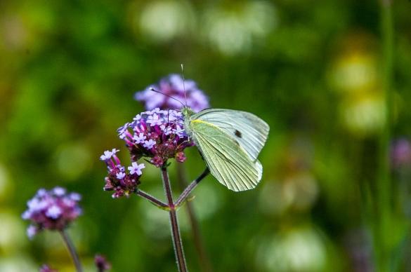 Butterfly, De Regte Heide - Tilburg