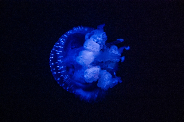 Jellyfish - Lisbon Oceanarium