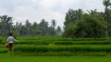 Ricefields - Ubud