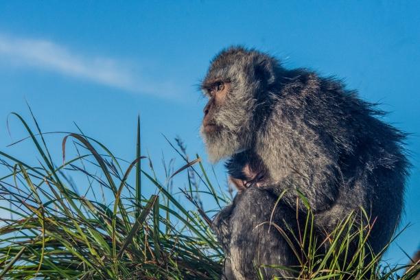 Mount Batur monkey
